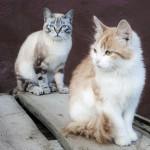Амдерма - коты
